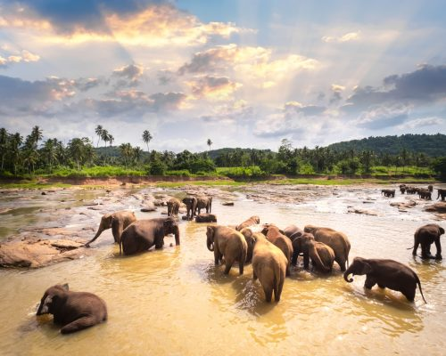 Big Asian elephants relaxing and bathing in the river under sunset sky. Amazing animals in wild nature of Sri Lanka